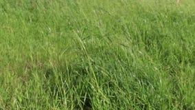 Πράσινη φρέσκια χλόη στον αέρα στη θερινή ημέρα, μεταβλητή εστίαση φιλμ μικρού μήκους