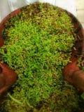 Πράσινη φτέρη στο μικρό δοχείο Στοκ εικόνες με δικαίωμα ελεύθερης χρήσης