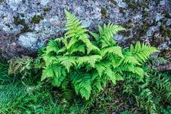 Πράσινη φτέρη στο φυσικό υπόβαθρο Στοκ Εικόνες