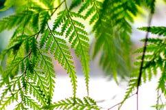 Πράσινη φτέρη Στοκ Φωτογραφία