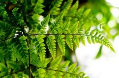Πράσινη φτέρη Στοκ εικόνες με δικαίωμα ελεύθερης χρήσης