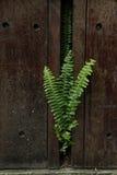 Πράσινη φτέρη Στοκ Φωτογραφίες