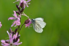 Πράσινη φλεβώδης άσπρη πεταλούδα Στοκ εικόνες με δικαίωμα ελεύθερης χρήσης
