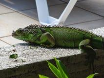 Πράσινη χαριτωμένη συνεδρίαση iguana στην πέτρα στοκ φωτογραφίες με δικαίωμα ελεύθερης χρήσης