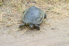 Πράσινη χελώνα που σέρνεται κατά μήκος μιας εθνικής οδού στοκ εικόνες με δικαίωμα ελεύθερης χρήσης