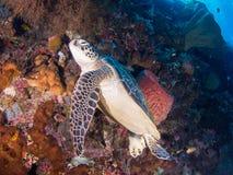 Πράσινη χελώνα σε Bunaken Στοκ Εικόνες