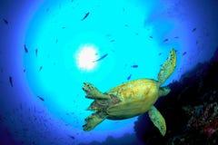 πράσινη χελώνα Στοκ Φωτογραφία