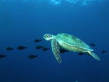 πράσινη χελώνα Στοκ εικόνες με δικαίωμα ελεύθερης χρήσης