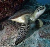 πράσινη χελώνα Στοκ φωτογραφία με δικαίωμα ελεύθερης χρήσης