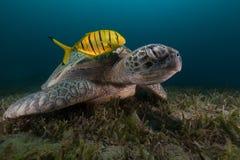 Πράσινη χελώνα (Μήδας chelonia) και trevally στη Ερυθρά Θάλασσα. στοκ εικόνα με δικαίωμα ελεύθερης χρήσης