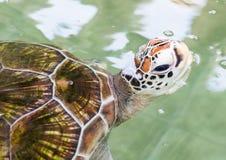 πράσινη χελώνα μωρών Στοκ φωτογραφία με δικαίωμα ελεύθερης χρήσης