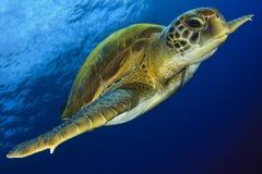 Πράσινη χελώνα στο μπλε στοκ εικόνα