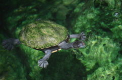 πράσινη χελώνα Στοκ Εικόνες