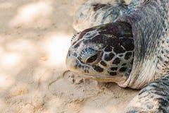 πράσινη χελώνα Στοκ Φωτογραφίες
