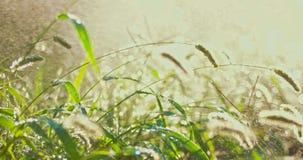 Πράσινη χλόη κάτω από τη νεροποντή αναδρομικά φωτισμένη από το ηλιοβασίλεμα απόθεμα βίντεο