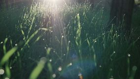 Πράσινη χλόη και πτώσεις της δροσιάς πρωινού απόθεμα βίντεο