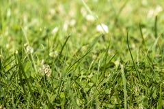 Πράσινη χλόη με Trifolium ανθών άσπρου τριφυλλιού repens Στοκ Εικόνες