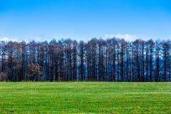 Πράσινη χλόη που αρχειοθετείται με τη γραμμή ψηλών δέντρων πεύκων ενάντια βαθιά σε μπλε Στοκ εικόνα με δικαίωμα ελεύθερης χρήσης