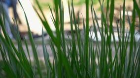 Πράσινη χλόη που ταλαντεύεται στον αέρα απόθεμα βίντεο