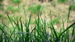 Πράσινη χλόη που ταλαντεύεται στον αέρα φιλμ μικρού μήκους