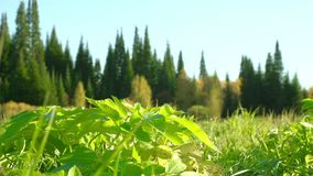 Πράσινη χλόη σε ένα καθάρισμα στα ξύλα Μετακινηθείτε τον πυροβολισμό ολισθαινόντων ρυθμιστών απόθεμα βίντεο