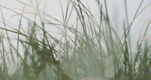Πράσινη χλόη στη δροσιά φιλμ μικρού μήκους
