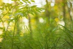 Πράσινη χλόη στον ήλιο, αφηρημένο υπόβαθρο φύσης Θαμπάδα, bokeh, μακροεντολή Στοκ Εικόνες