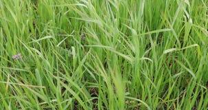 Πράσινη χλόη το καλοκαίρι στην ημέρα φιλμ μικρού μήκους