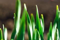 Πράσινη χλόη άνοιξη στην ηλιοφάνεια με μια πτώση της δροσιάς αφηρημένη ανασκόπηση φυσική Στοκ εικόνα με δικαίωμα ελεύθερης χρήσης