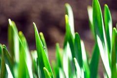 Πράσινη χλόη άνοιξη στην ηλιοφάνεια με μια πτώση της δροσιάς αφηρημένη ανασκόπηση φυσική Στοκ εικόνες με δικαίωμα ελεύθερης χρήσης