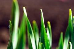 Πράσινη χλόη άνοιξη στην ηλιοφάνεια με μια πτώση της δροσιάς αφηρημένη ανασκόπηση φυσική Στοκ φωτογραφία με δικαίωμα ελεύθερης χρήσης