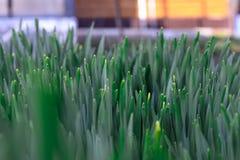 Πράσινη χλόη άνοιξη στις ακτίνες του ήλιου αφηρημένες ανασκοπήσεις φυσικές Στοκ φωτογραφία με δικαίωμα ελεύθερης χρήσης