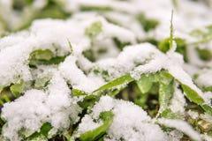 Πράσινη χλόη άνοιξη στο χιόνι Στοκ Εικόνες