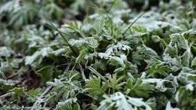 Πράσινη χλόη ανάπτυξης όλοι στον παγετό, παγετός πρωινού απόθεμα βίντεο