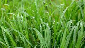 Πράσινη χλόη κάτω από την πέφτοντας βροχή και το φυσώντας αέρα HD βιντεοσκοπημένες εικόνες 1080p απόθεμα βίντεο