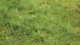 Πράσινη χλόη με τα φύλλα φθινοπώρου Στοκ Εικόνες