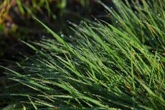 Πράσινη χλόη με τη δροσιά Στοκ Εικόνες