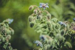πράσινη χλόη με το μπλε λουλούδι Στοκ Εικόνες