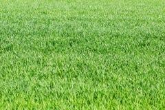 Πράσινη χλόη, σίκαλη, τομέας σίτου, λιβάδι, υπόβαθρο λιβαδιού ως spr Στοκ Εικόνες