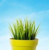 Πράσινη χλόη σε ένα κίτρινο δοχείο λουλουδιών στο μπλε υπόβαθρο στοκ εικόνες με δικαίωμα ελεύθερης χρήσης
