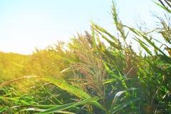 Πράσινη χλόη στις ακτίνες του ήλιου ρύθμισης Στοκ φωτογραφία με δικαίωμα ελεύθερης χρήσης