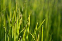 Πράσινη χλόη στις ακτίνες του ήλιου ρύθμισης Στοκ Εικόνες