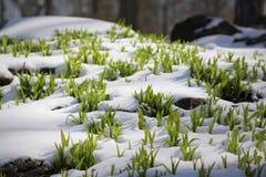 Χλόη στο χιόνι Στοκ Εικόνες