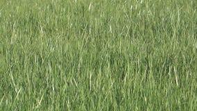 Πράσινη χλόη. απόθεμα βίντεο