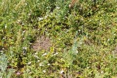 Πράσινη χλόη (bindweed, φράουλες) Στοκ εικόνα με δικαίωμα ελεύθερης χρήσης