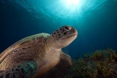πράσινη ωκεάνια χελώνα στοκ φωτογραφία με δικαίωμα ελεύθερης χρήσης