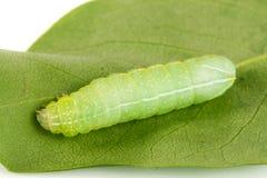 Πράσινη όμορφη κάμπια στενό σε επάνω φύλλων στοκ εικόνα