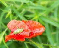 Πράσινη grasshopper συνεδρίαση σε ένα κόκκινο λουλούδι παπαρουνών Στοκ Εικόνες