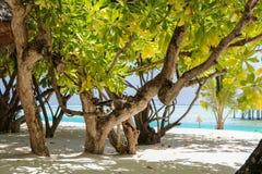 Πράσινοι δέντρο και φοίνικας στην άσπρη παραλία άμμου νησί Μαλβίδες Στοκ εικόνα με δικαίωμα ελεύθερης χρήσης