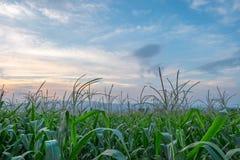 Πράσινοι αγρόκτημα και μπλε ουρανός λιβαδιών τομέων καλαμποκιού στο λυκόφως Στοκ Εικόνα